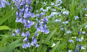 bluebells & forget me nots 9-5-10